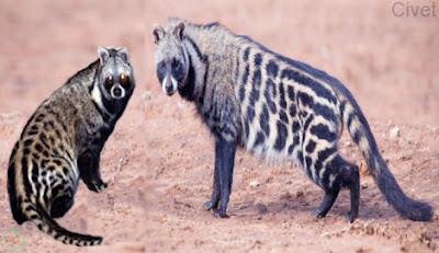 civet, civet wild animal