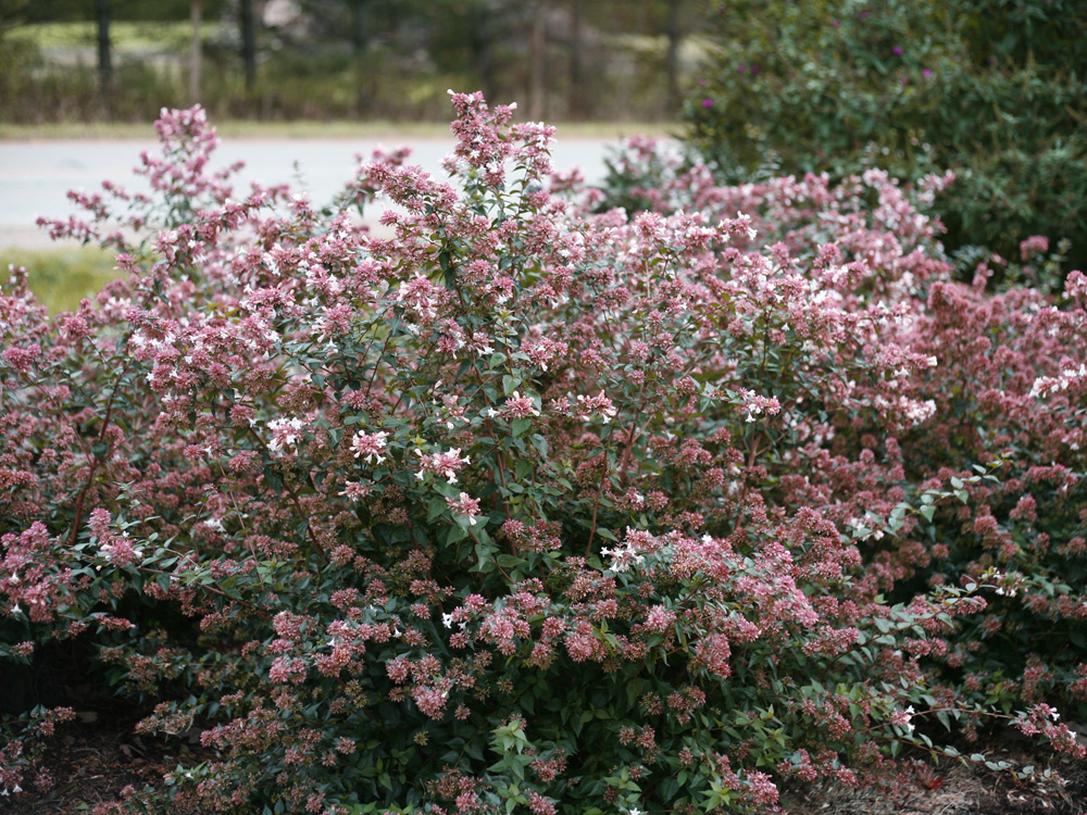 The Plant Hunter Replacing Roses Affected By Rosette Disease