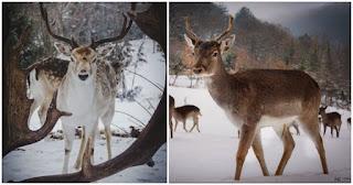 Πανέμορφα ζαρκάδια κάνουν τη βόλτα τους σε χιονισμένο χωριό της Κοζάνης