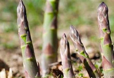 Προσβολές από σκωρίαση σε φυτείες µε σπαράγγια στη Θεσπρωτία