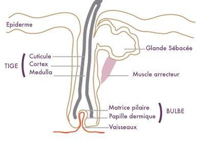 Structure du cheveu