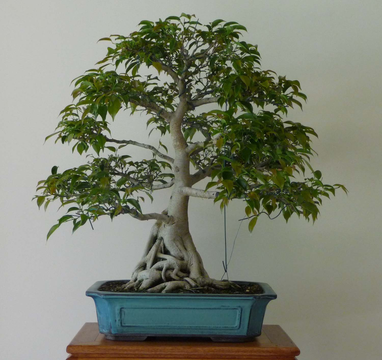 bonsai pottery post 42 ficus root pruning. Black Bedroom Furniture Sets. Home Design Ideas