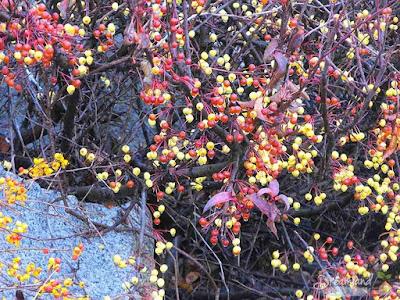 autumn bittersweet