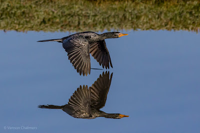 Reed cormorant over the Diep River, Woodbridge Island - Copyright Vernon Chalmers