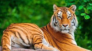 تفسير رؤية النمور في المنام بالتفصيل