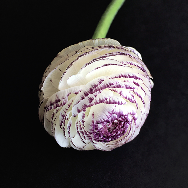 Ranunculus Flower, Floral Beauty