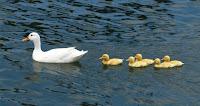 Ördek, evcil beyaz pekin ördeği ve sarı yavruları