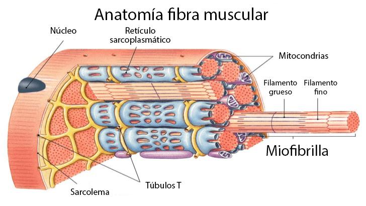 Anatomía y estructura