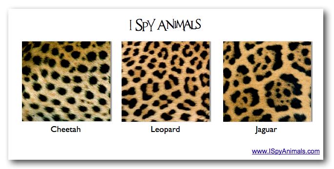 leopard and jaguar comparison - photo #26