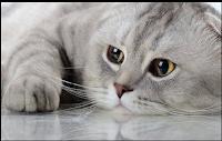 Harga Ras Kucing Scottish Fold