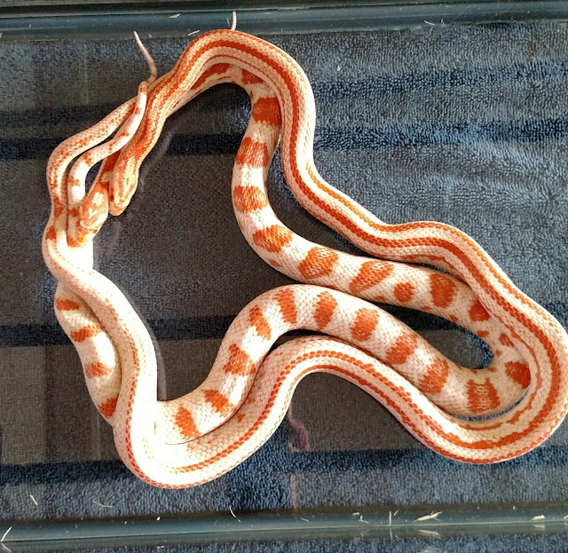 Liz's King Snakes: Snakes for Sale