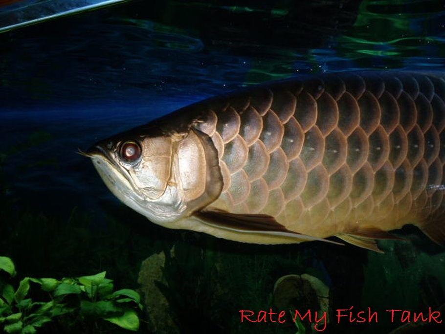 Gambar Dan Foto Harga Ikan Arwana Irian