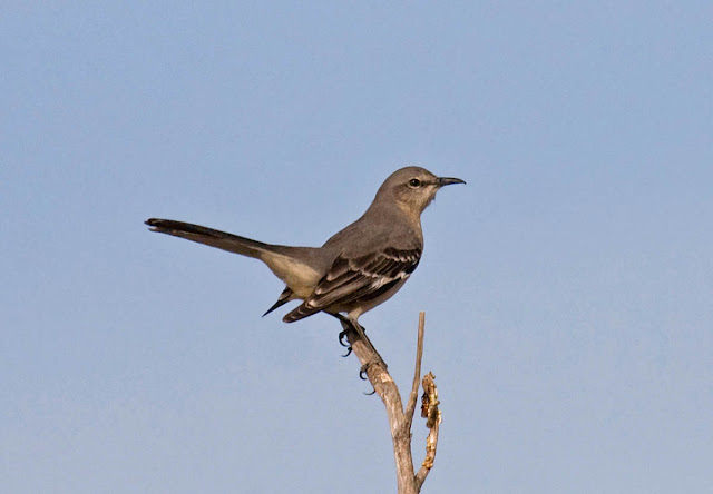 San Diego, California Backyard bird: Northern Mockingbird