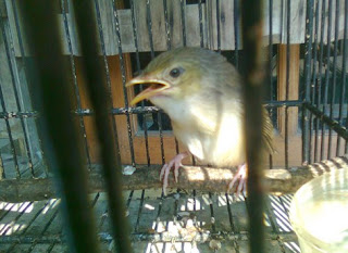 10 Ciri Ciri Fisik Burung Ciblek Gunung Muda Hutan Jantan Paling Akurat