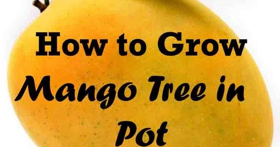 How To Grow Mango Tree In Pot All Garden World