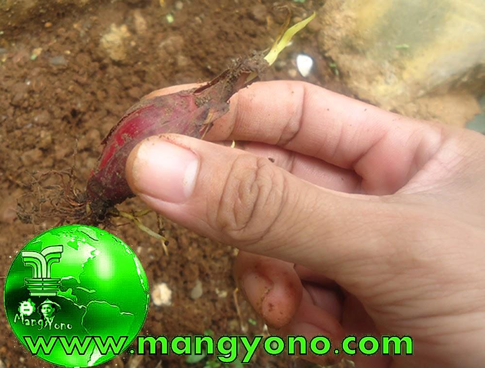 Umbi BAWANG DAYAK ( Eleutherine Palmifolia )