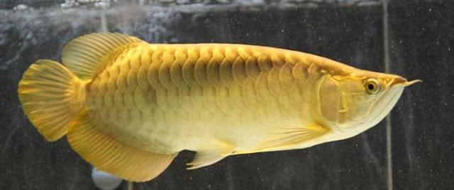 Arwana Crossback Golden - Budidaya Ikan