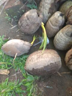 Tunas kelapa gading genjah