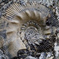 Kimmeridge Fossil