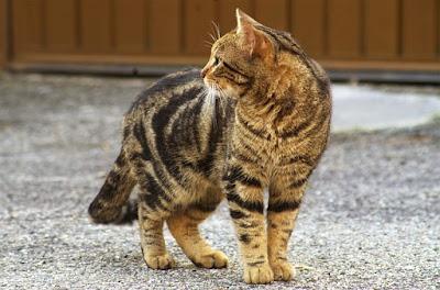 Kucing Mix Dome Calico