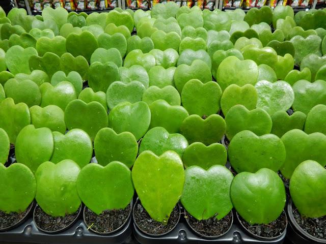 Coração planta