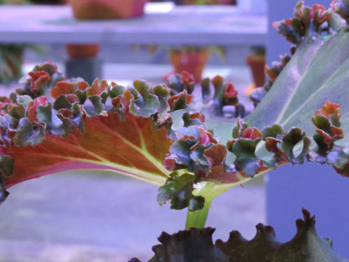 Philadelphia Flower Show 2015- begonia lettuce leaf