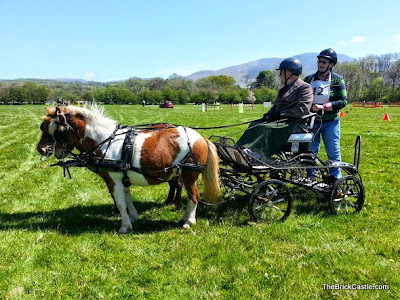 Shetland Ponies Carriage Driving