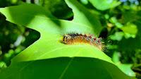gypsy moth caterpillar on leaf