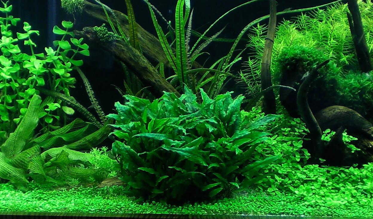 hồ thủy sinh trồng tiêu thảo tiền cảnh