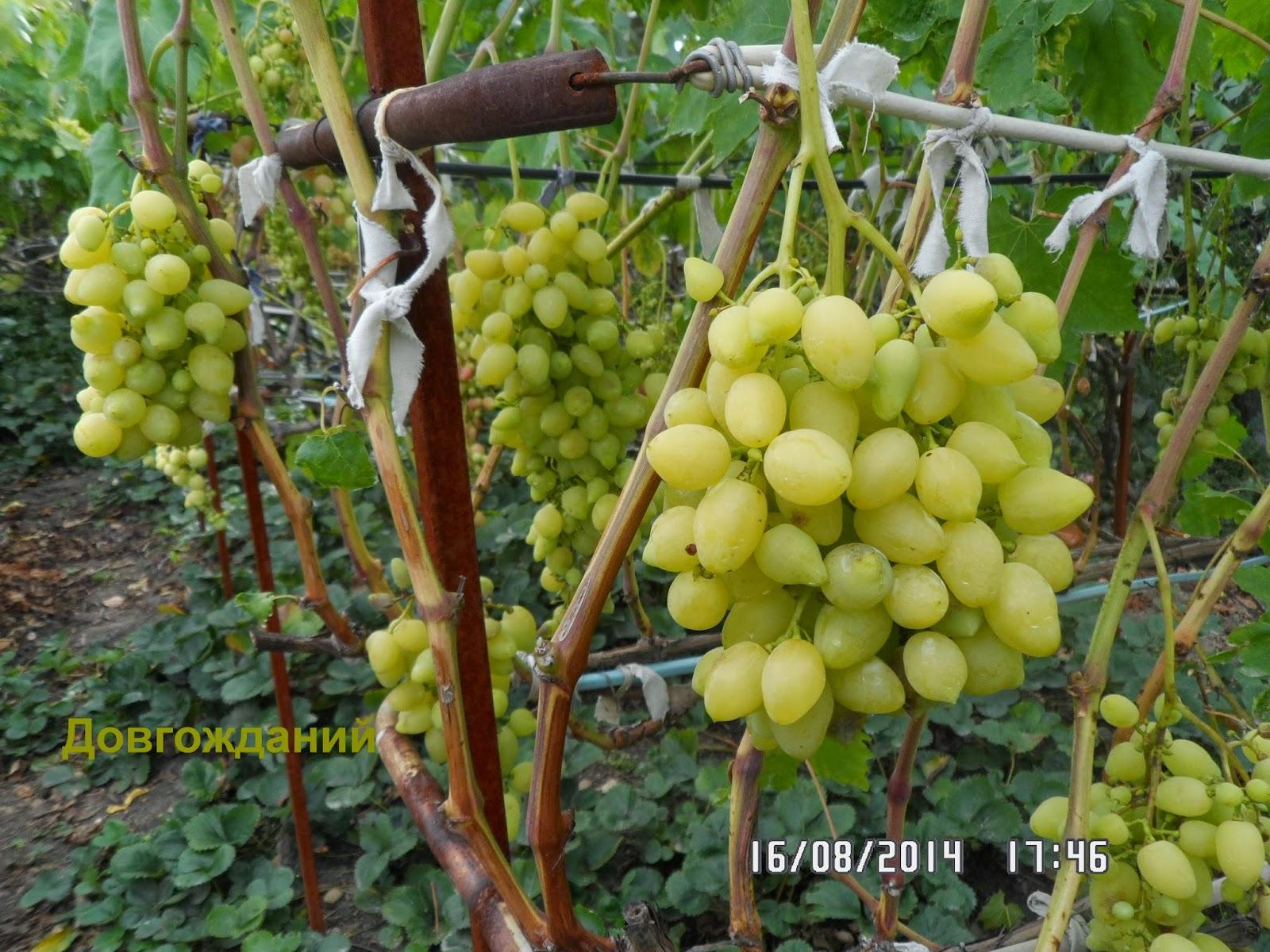 Оригинальный внешне и восхитительный на вкус — виноград Изюминка