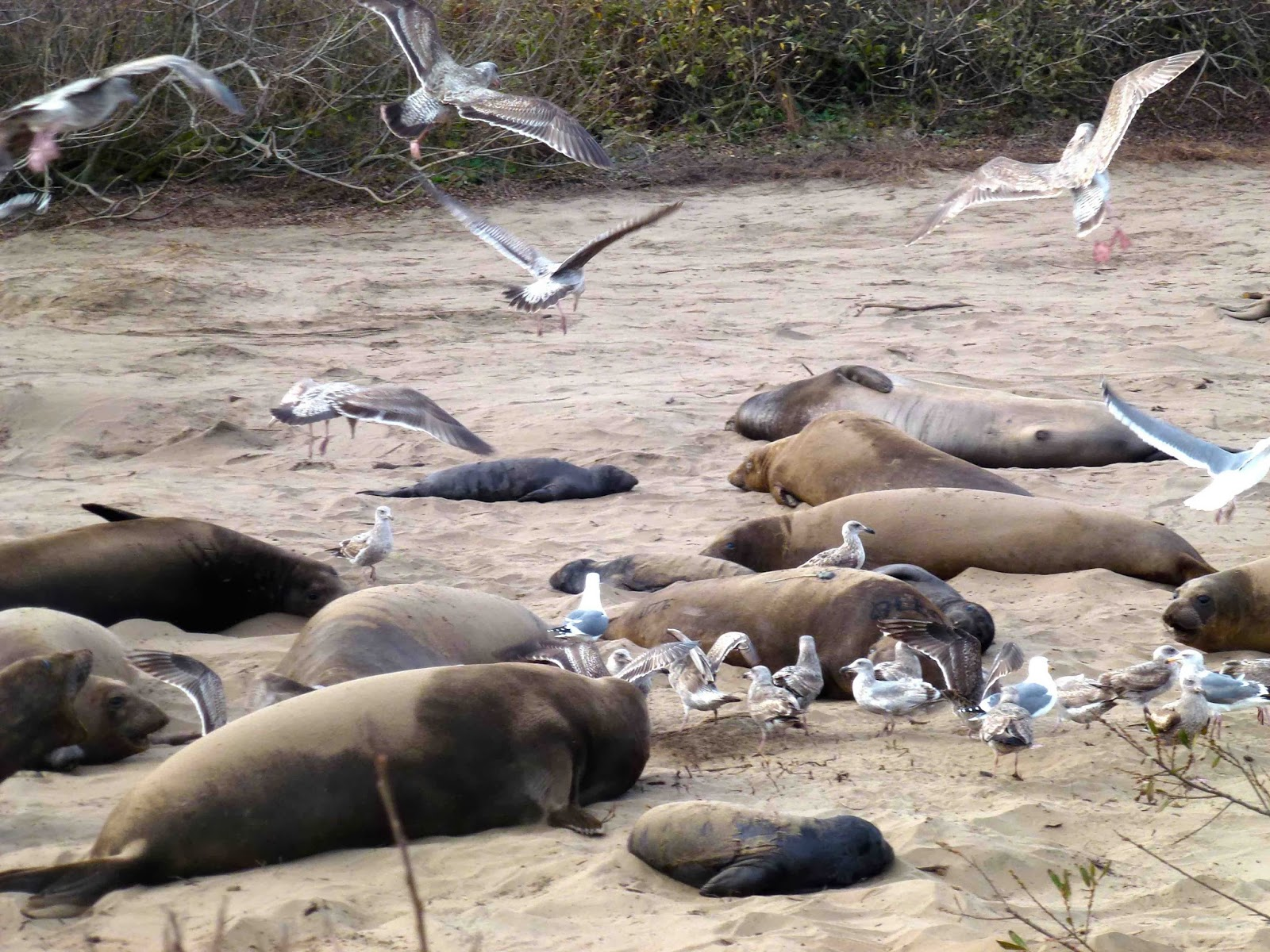 Seagulls fight over the afterbirth of elephant seals. Black newborn seal is in the foreground.