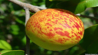 mangaba fruit images wallpaper