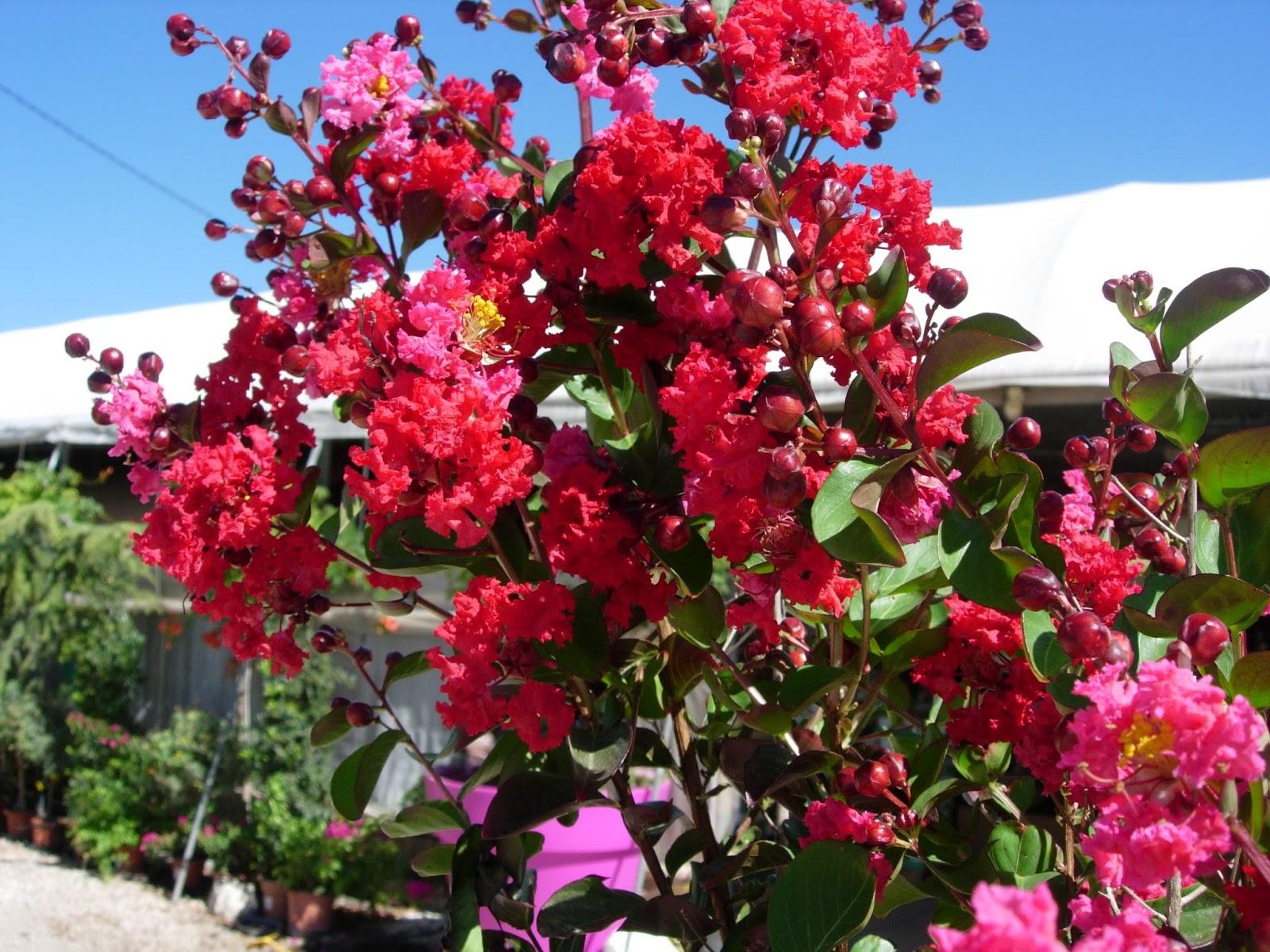 Flores mexico rbol de j piter for Arboles plantas y flores