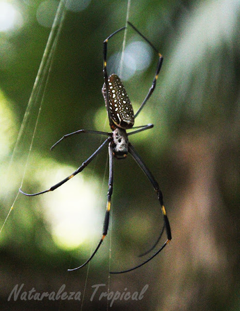 Nephila clavipes tejiendo, araña de la seda de oro