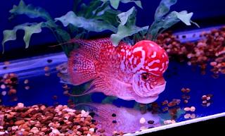 cara budidaya ikan louhan super red
