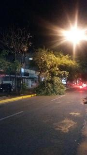 Após a chuva, árvore cai no bairro do Junco em Sobral