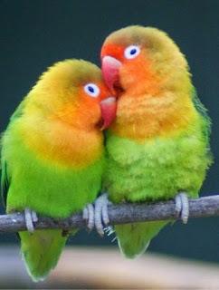 mengatasi lovebird mencret