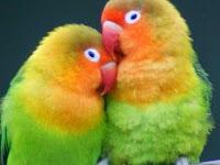 Cara Mengatasi Lovebird Mencret/ Diare