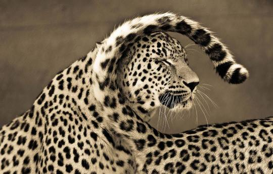 Animals, Sepia Portraits of Big Cats