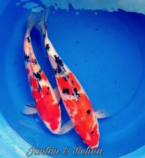 Perbedaan Ikan Koi Jantan dan Betina