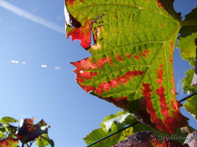 Weinblätter im Sonnenschein