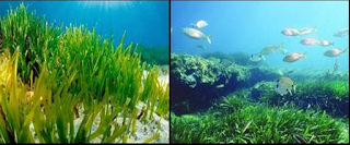 Rumput bahari atau dalam bahasa inggrisnya disebut d Kabar Terbaru- PENGERTIAN LAMUN