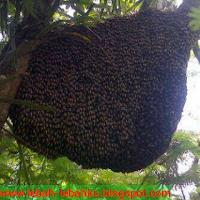 jual madu lebah hutan apis dorsata