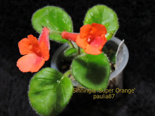 Sinningia Super Orange