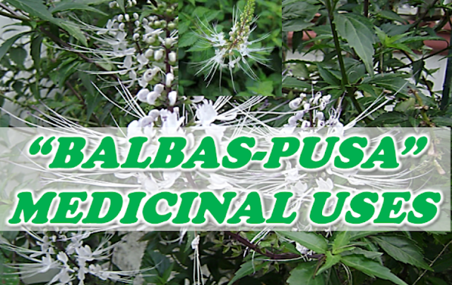 It is known for the flowers amongst long whisker Herbal Plant Cat's Whiskers Medicinal Uses