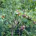 UNIK TAPI NYATA!!! RUGI KALAU TIDAK DI BACA!! 1 Pohon Ini Bisa Punya 40 Jenis Buah!! Begini Tehniknya! JANGAN LUPA DI SHARE