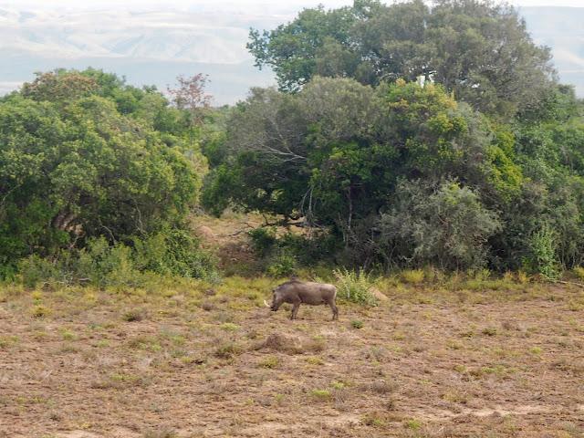 Warthog in Addo Elephant National Park, South Africa