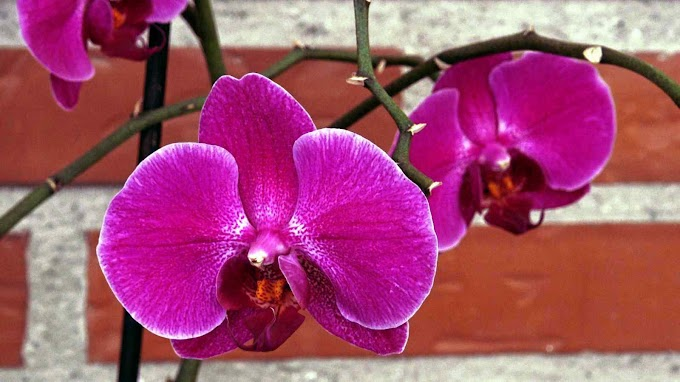 Phalaenopsis Var. (Orquídea Pink Pirate)