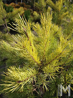 Sosna pospolita 'Wintergold' (Pinus sylvestris 'Wintergold')