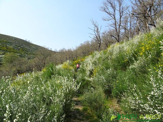 Escobas en el camino entre Brañas de la Viña y La Viña